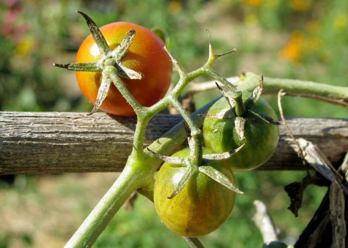 Tomatoes 5 by 7 EDIT.jpg
